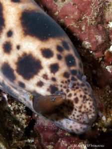 Moray eel (Scutaria tigrina)  eating a young moray. by Bea &amp; Stef Primatesta 